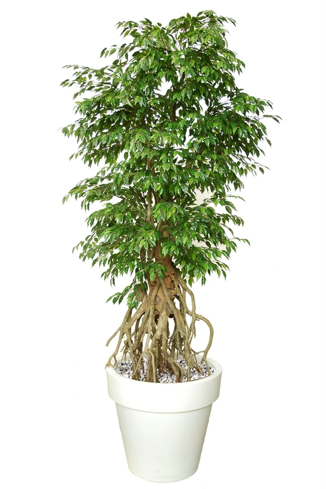 Ficus Golden Root  Green